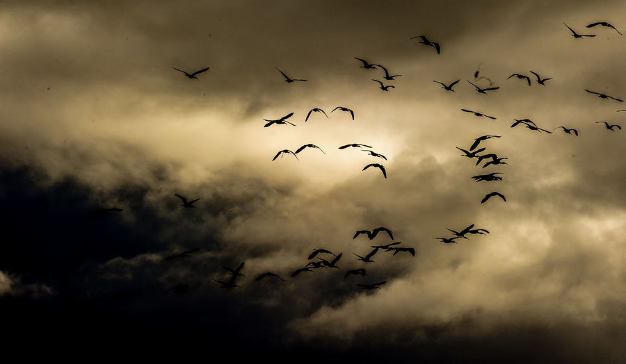 Birds in the sky Birds flying in the sky before the storm Beauty In Nature Bird Cloud - Sky Flock Of Birds Flying Nature Silhouette Sky