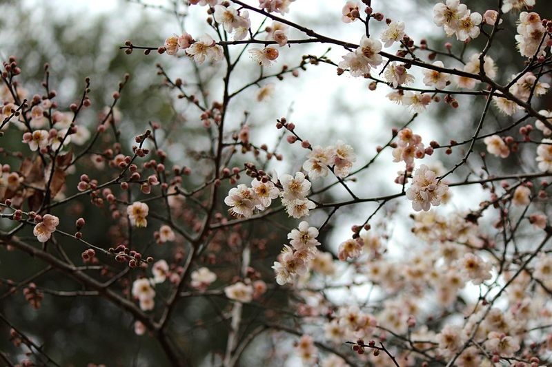 Japanese Plum Blossom Ume Blossom EyeEm Flower Plant Growth Beauty In Nature Tree Fragility Branch Flowering Plant Flower Blossom Day Sky Botany Freshness Nature Vulnerability  Springtime No People My Best Photo