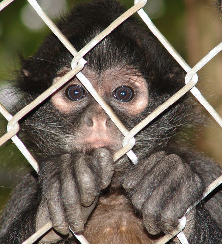 Cage Caged Monkey Close-up Day Fencing Headshot Looking At Camera Monkey Outdoors Sad Monkey Trapped Zoo