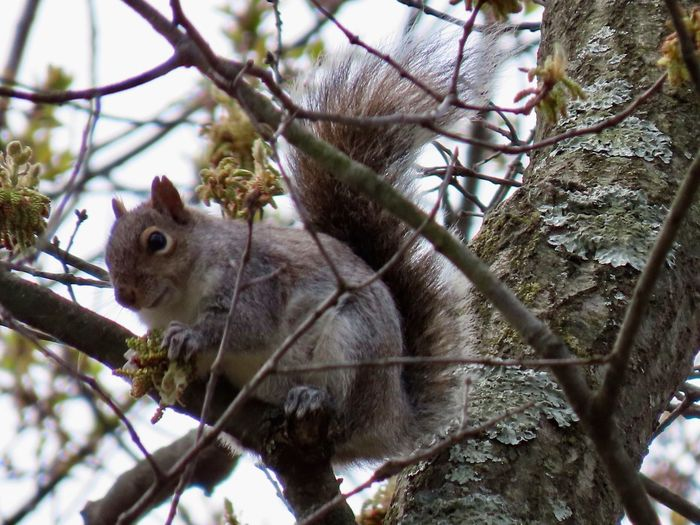 Squirrel perched on the bare branch of a tree low angle view closeup animal themes outdoors gray sky focus on the foreground Tree Branch One Animal Animal Wildlife No People