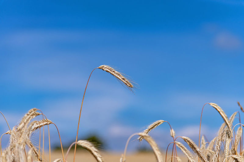 Plant Crop  Growth Agriculture Cereal Plant Nature Focus On Foreground Wheat Land Field Beauty In Nature Sky Day No People Close-up Tranquility Farm Rural Scene Landscape Outdoors Stalk Getreideähren Bio