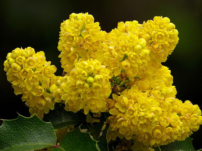 Beauty In Nature Beauty In Nature Black Background Botany Close-up Flower Collection Flower Head Mahonia Mahonia Flowers Outdoors Plant Yellow Yellow Flower