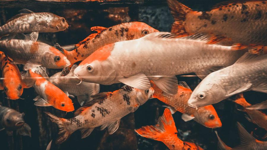 Close-up of koi fish in sea