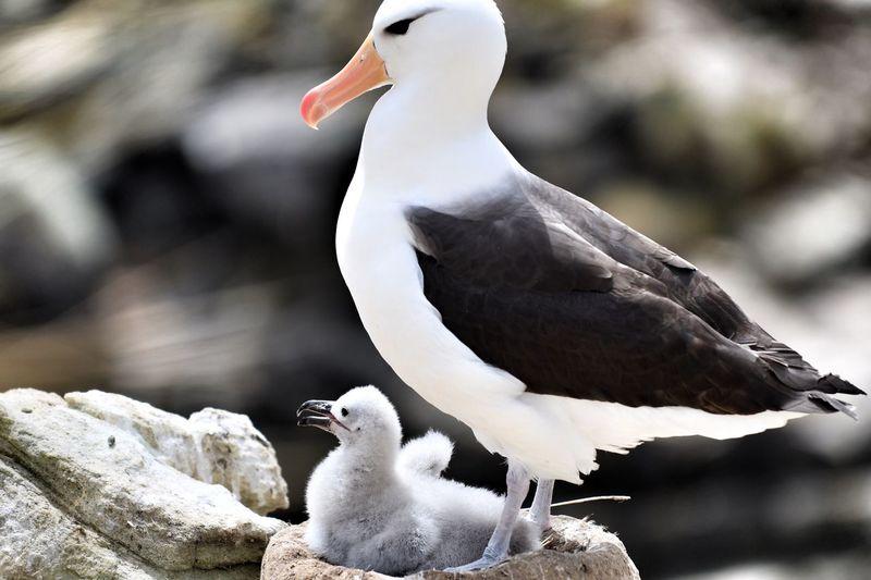 Close-up of albatross perching