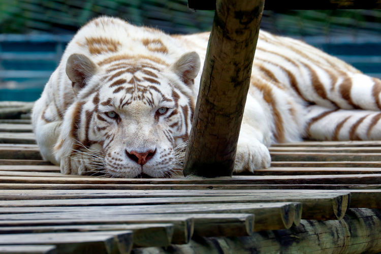 Close-up portrait of white tiger relaxing on wood