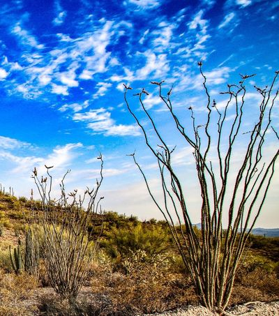 Nature Landscape Cloud - Sky Tranquility Growth Plant Outdoors Beauty In Nature No People Tranquil Scene Sky Day Scenics Bare Tree Grass Travel Destinations Tree JGLowe Ocotillo Cactus Arid Climate