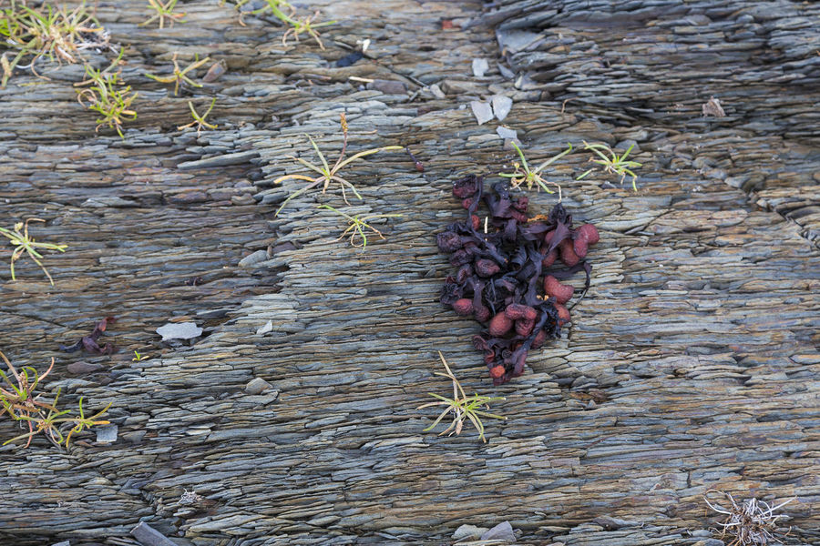Dark red dried bladder wrack on grey schist rock Bladder Wrack Schist Rock Dry Plant Still Life Plants Beauty In Nature Nature Dry Growth Outdoors Bladder Fucus Bladderwrack Black Tany Black Tang Alga Closeup Rockweed Rock Wrack Red Fucus Pattern Striations