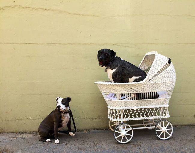 One Dog Sitting In Baby Carriage And One Dog Sitting On Concrete Flooring