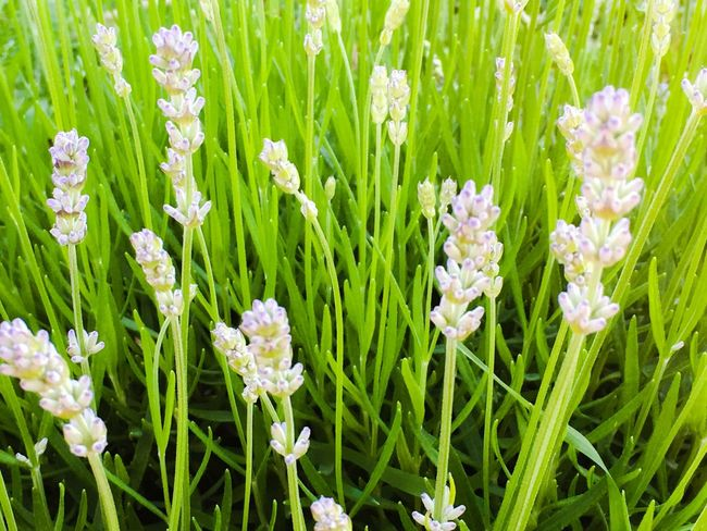 Flower Green Color Grass Nature Growth Plant No People Outdoors Day Full Frame Beauty In Nature Close-up Fragility Freshness Flower Head