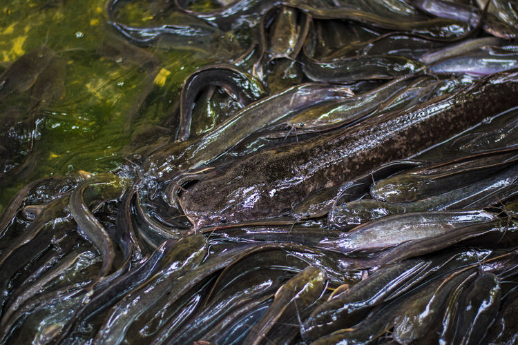 Catfish Animal Vertebrate Backgrounds Fish Seafood Full Frame No People High Angle View Close-up Water Freshness Animal Themes Food And Drink Food Nature Outdoors Day Wellbeing Animal Wildlife Ice Marine