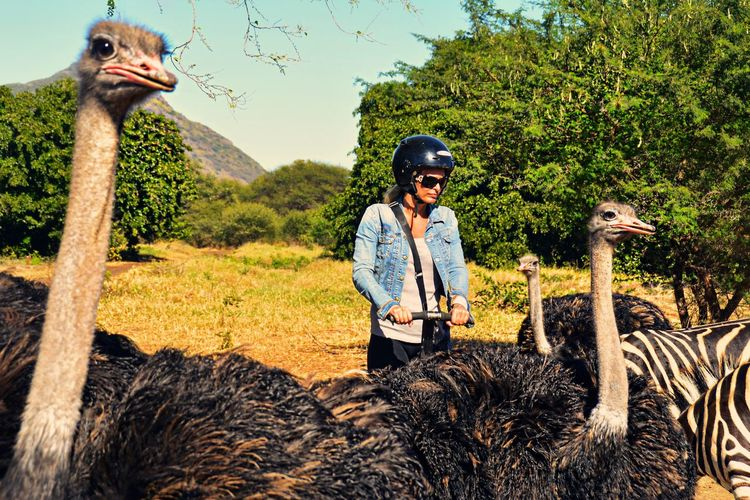 Woman riding segway by ostriches on field during sunny day