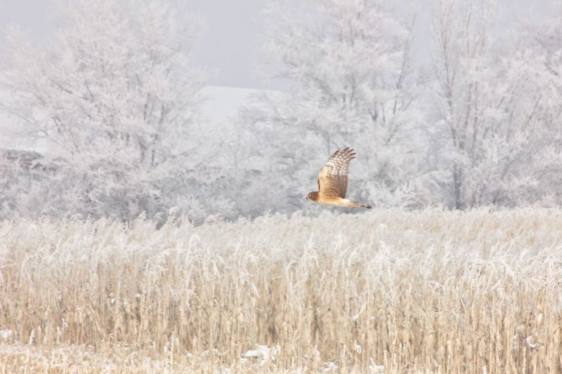 Hawk flying over snowy field during winter