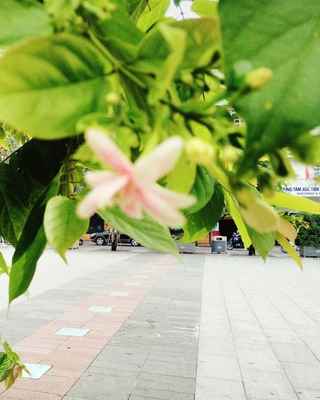 Hochiminhcity Samsung Galaxy S7 Edge Defocused Nguyenhuewalkingstreet Flower Vintage NguyenHue Street Green Color Day Outdoors Nature Growth No People