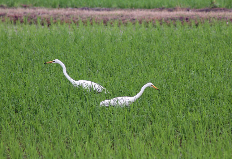 Egrets foraging in a rice paddy Bird Bird Photography Birds Egret Egrets Foraging Japan Nature Rice Paddy White Bird Ultimate Japan