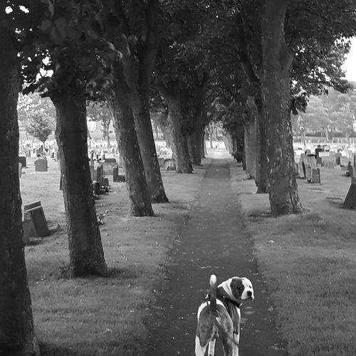 Cemetery Walks Zeus Black And White Outdoors Graveyard Black & White Trees Nature Cemetery Dog American Bulldog American Bulldog Cross