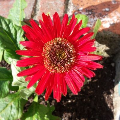 Nofilter Springtime Gerbera Daisy