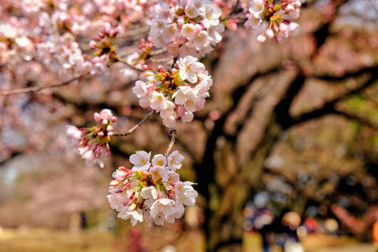 Flower Cherry Blossom Cherry Tree Blossom Springtime Almond Tree Fragility Pink Color Tree Branch Orchard Botany Apple Blossom Cherry Beauty In Nature Freshness White Color Day Nature No People Japan Ueno Park