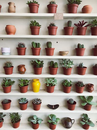 Succulents Succulent Plant Succulents Plants Large Group Of Objects In A Row Shelf Arrangement Choice Order Variation Abundance Fruit No People Side By Side Healthy Eating Food Freshness Retail  Indoors  Store For Sale