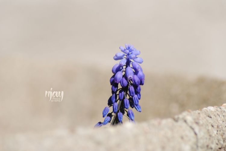 Hyacinth Hyacinth Flower Hyacinths Spring Flowers Spring Springtime Flower Flowerporn Simple Purple Purple Flower Plant Blossom Nature_collection Naturelovers Flowers,Plants & Garden Garden No Edit/no Filter Beauty In Nature Close-up Blue Simple Beauty Minimalism One Alone