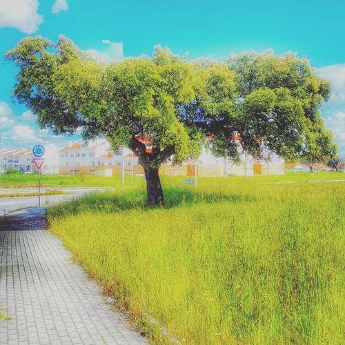 Nature Natureza Naturelovers Tree Colors Colorful Cores Spring Igersportugal Picoftheday Photooftheday Hdr_pics HDR Instagram Leafs Arvore Tree Bigtree Évora  Alentejo Portugal Sunnyday Landscape Paisagem Paisagemalentejana portugaldenorteasul