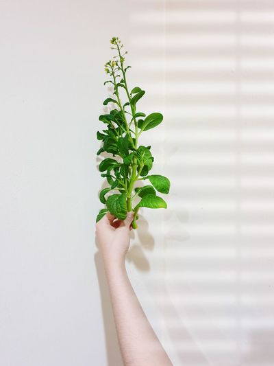Close-up of hand holding small plant against white background