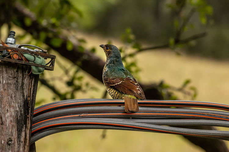 perching on a pipe Vertebrate Animal Themes Animal Bird Animals In The Wild Animal Wildlife One Animal Perching Focus On Foreground Day No People Outdoors Close-up Nature Wood - Material Metal Sparrow Looking Away Full Length Zoology Hose Pipe Jason Gines Bower Bird