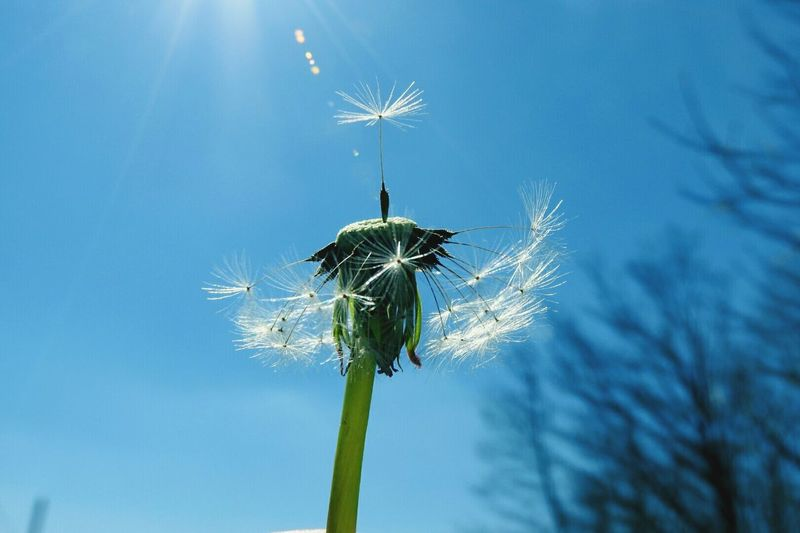 Soffione, ready set.... Fly Away Soffione Sky Dandelion Dandelion Seed Head Dandelion In The Sky Dandelion In Sulight Hanging Out Taking Photos Relaxing Hi! Enjoying Life Lights Relaxing