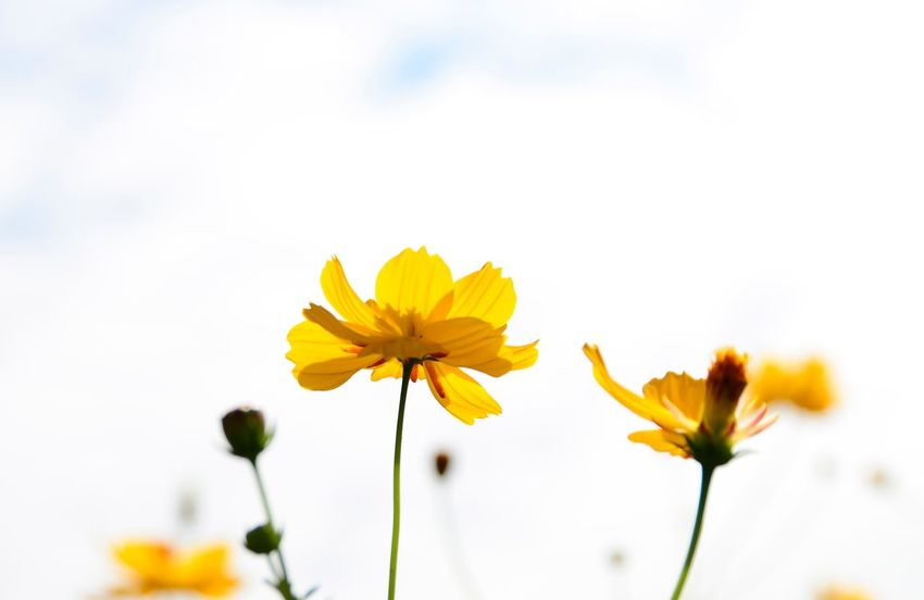 Yellow cosmos against the bright sky background Travel Thailand_allshots_nature Yellow Flower Flower Petal Fragility Flower Head Nature Beauty In Nature Freshness Close-up No People Growth Cosmos Flower Yellow Botany Blossom Plant Springtime Outdoors Blooming