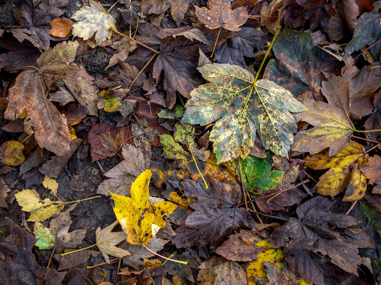 leaf, plant part, autumn, change, leaves, day, nature, high angle view, no people, falling, close-up, dry, yellow, maple leaf, plant, beauty in nature, outdoors, vulnerability, directly above, fragility, natural condition