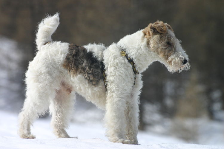 White dog on snow field