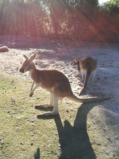 Kangaroos Sunlight Perth Australia Outdoor Sun Ray Bright Day 2kangaroos Standing Sky No People In A Zoo Wild Animals