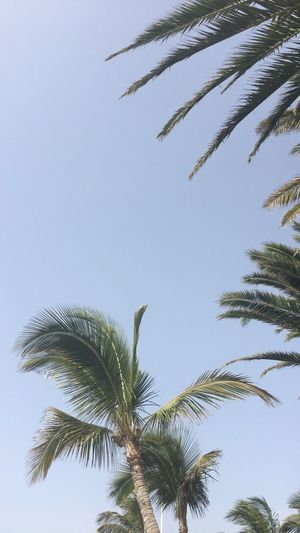 Palm Tree Low Angle View Tree Growth Clear Sky Palm Frond Nature No People Sky Day Outdoors Beauty In Nature Travel Travel Destinations Tranquil Scene