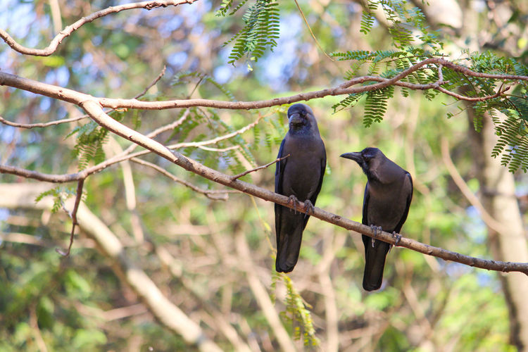 Crows Perched On Branch