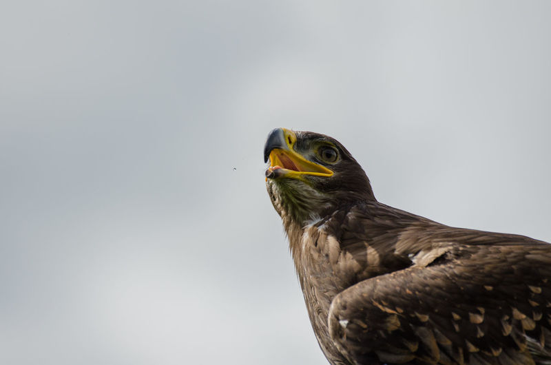 Close-Up Of Eagle Perching Against Clear Sky
