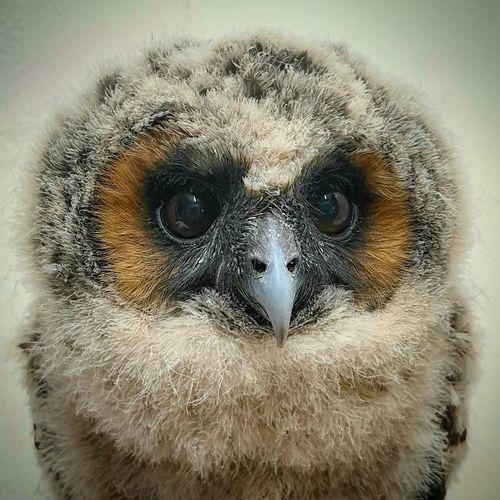 baby wood owl,