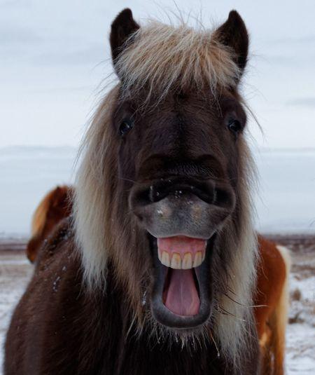 Iceland Horse Iceland Animal Animal Themes Mammal One Animal Animal Wildlife Domestic Pets Horse Animal Head  Animals In The Wild Animal Mouth Looking At Camera