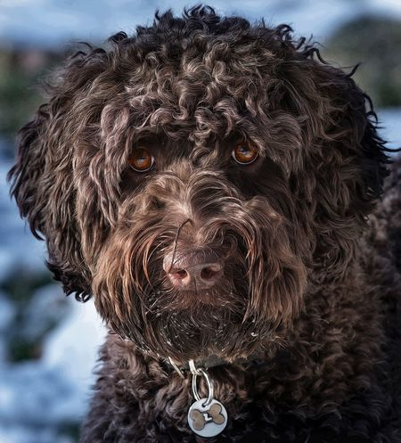 """Louis the Labradoodle"" Animal Themes Close-up Dog Dog In Snow Domestic Animals Labradoodle Labradoodles Looking At Camera One Animal Pets Portrait Serious Dog"