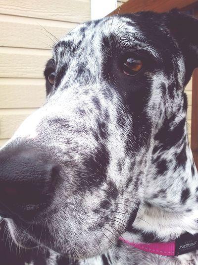 Greatdane Dog Mybeautifuldog Doglovers