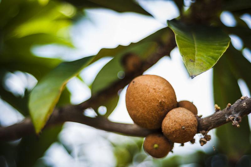 Close-up of dry lemons on tree branch