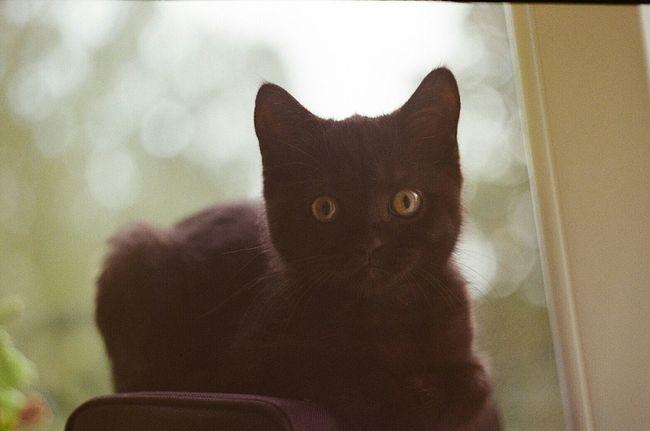 Check This Out Zenit Britishshorthair Cat Kitten