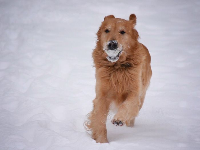 Animal Themes Mammal Pets Dog One Animal Domestic Animals Looking At Camera No People Portrait Close-up Cold Temperature Day Nature Outdoors Wintertime Pet Photography  Snow ❄ Playing Snow Covered Golden Retriever Running