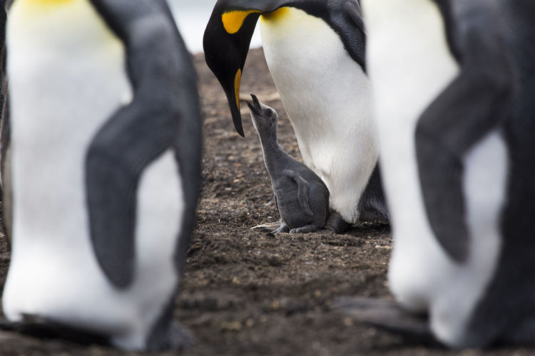 Young King with Mother at Sounders - Falkland Island Antarctica South Georgia Animal Family Animal Themes Animal Wildlife Animals In The Wild Bird Bird Feeding Close-up Day King Penguins Nature No People Ocean Outdoors Penguin Sea Life Togetherness Young Animal Young Penguin
