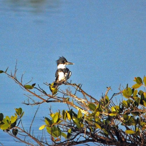 Kingfisher Taking Photos Nature Nikon