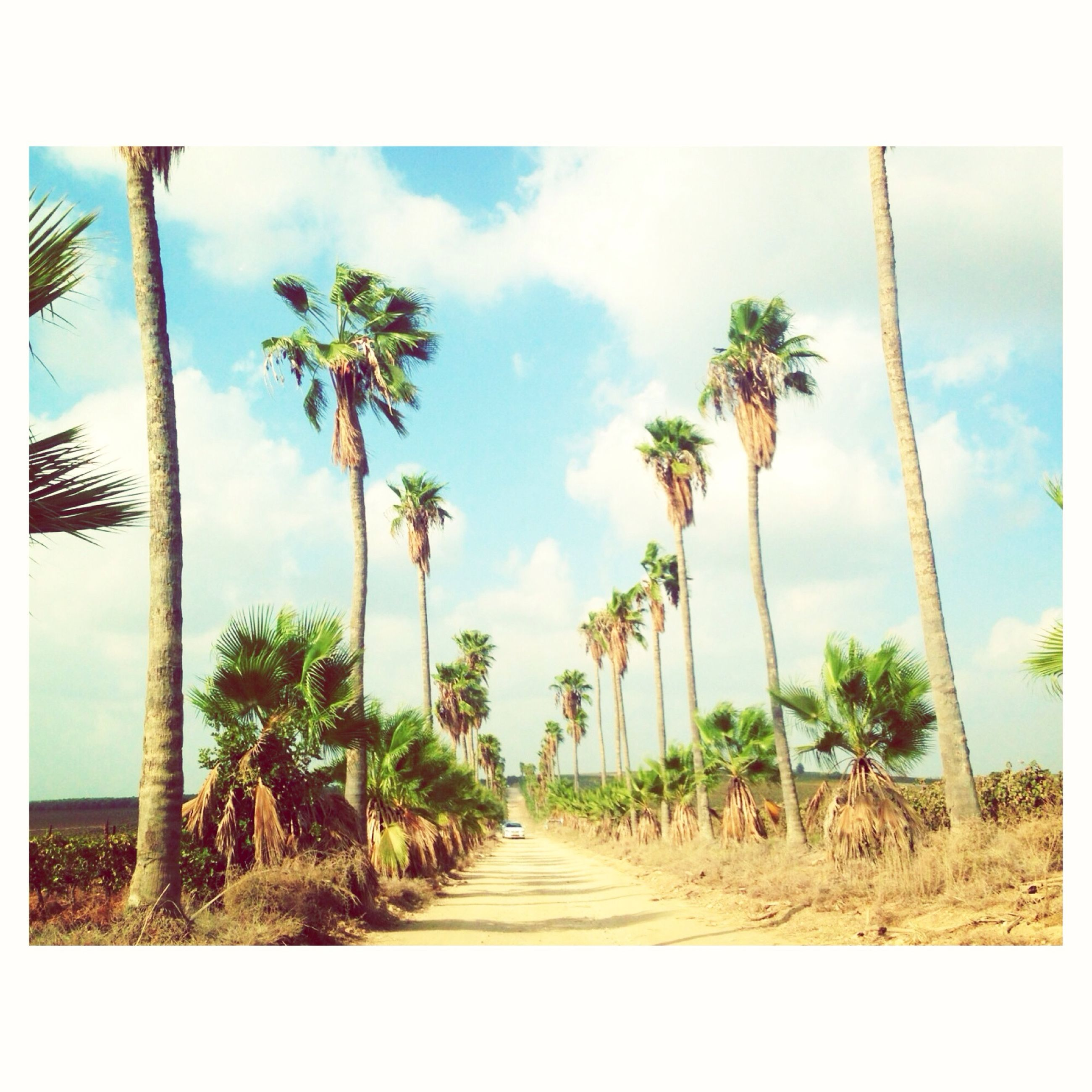transfer print, palm tree, sky, tree, the way forward, auto post production filter, growth, diminishing perspective, road, tranquility, cloud - sky, cloud, vanishing point, nature, tranquil scene, plant, transportation, beauty in nature, day, landscape