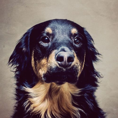 Close-Up Portrait Of Rottweiler Dog