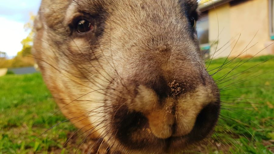 Wombat  Rescued Sanctuary  Animal Love Country Australia Animal Nose Pets Portrait Field Close-up Grass Animal Face Snout Adult Animal Pampered Pets Animal Mouth Animal Eye