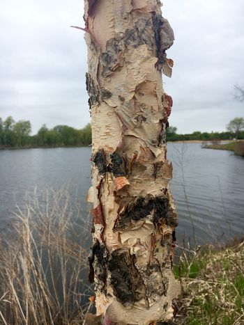 Bark Water Tree Nature Lake Plant Tranquility Day Sky No People Cloud - Sky Tranquil Scene Outdoors Beauty In Nature Tree Trunk Scenics - Nature Lakeshore Trunk Land