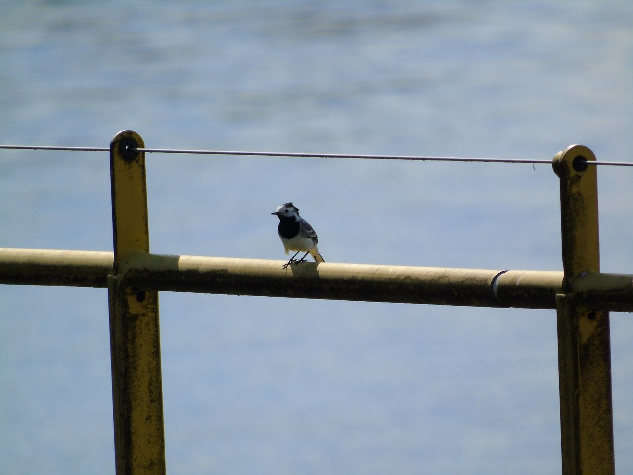 vertebrate, animal, animal themes, bird, animal wildlife, animals in the wild, perching, one animal, metal, day, focus on foreground, no people, outdoors, nature, railing, sky, cable, connection