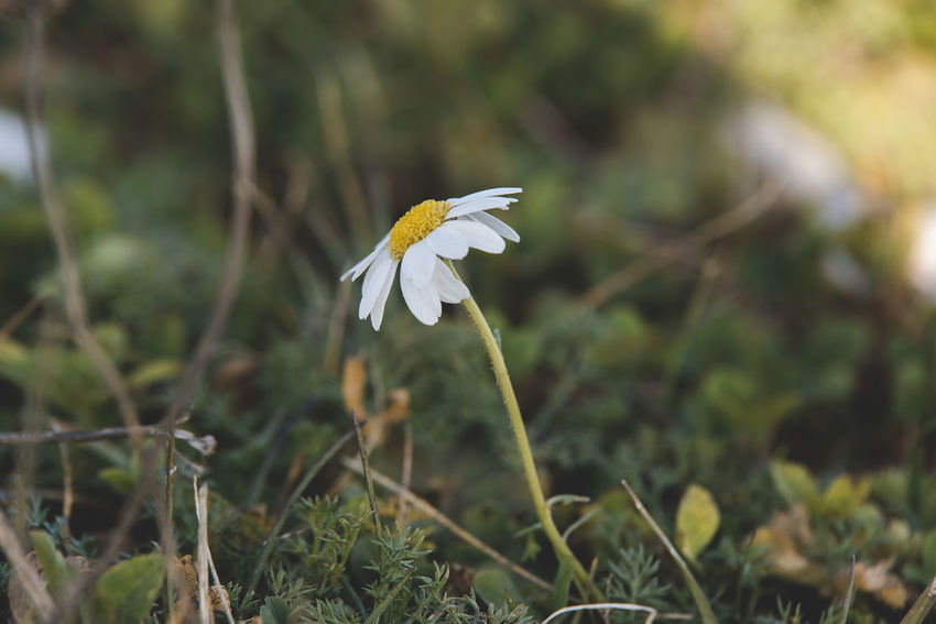 Chamomile from alp zone Plant Growth Fragility Vulnerability  Freshness Beauty In Nature Flower Close-up Flowering Plant Petal Nature Land Focus On Foreground White Color No People Day Field Selective Focus Inflorescence Flower Head