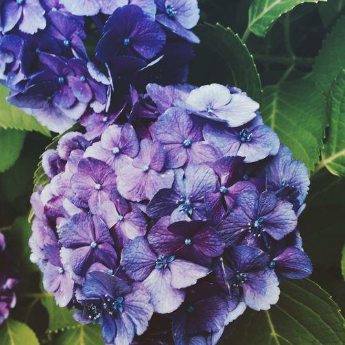 紫陽花 紫陽花-hydrangea- 紫陽花2015Photo 梅雨 寒色 気まぐれ